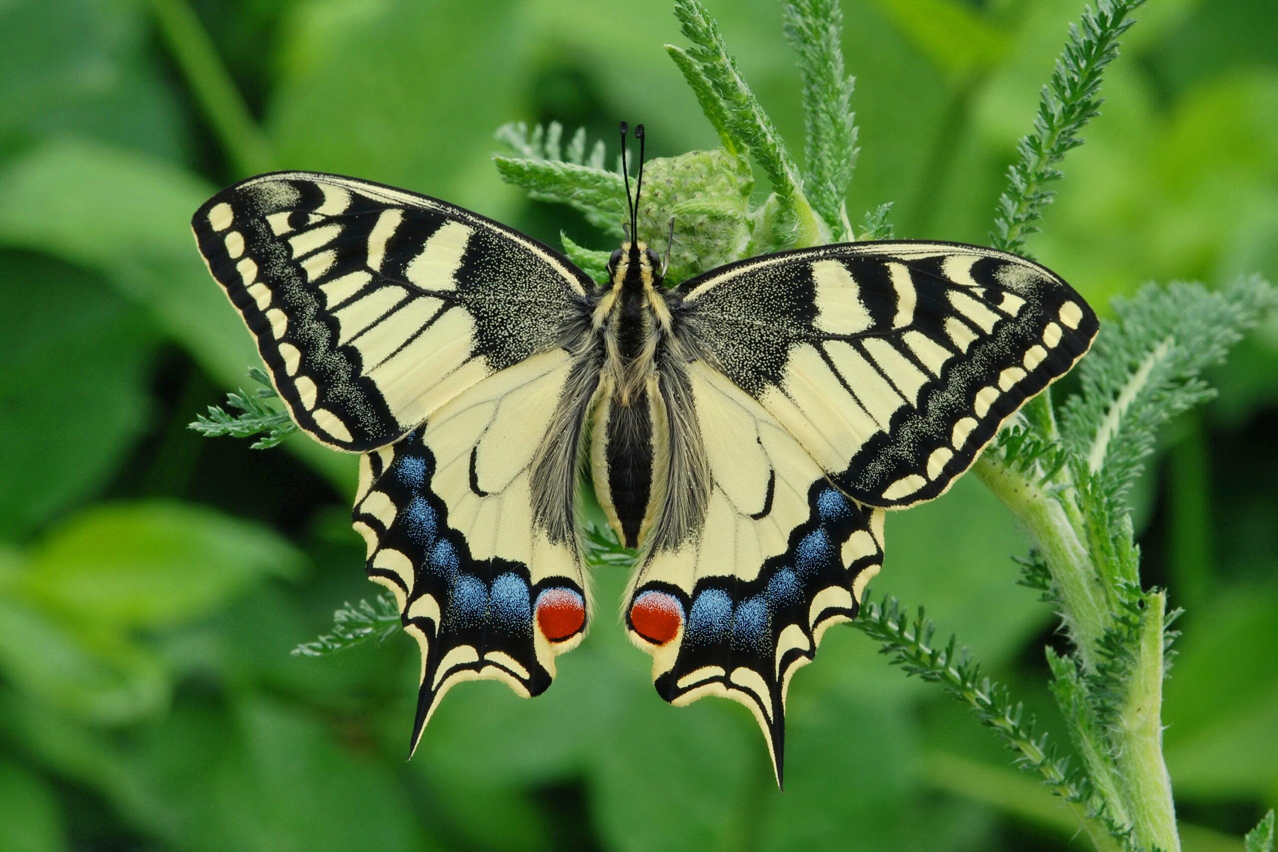 Papilio machaon by Erk Dallmeyer